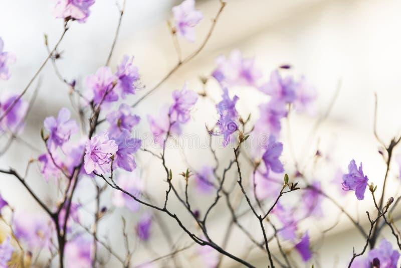 Ρόδινο rhododendron την άνοιξη στοκ εικόνες