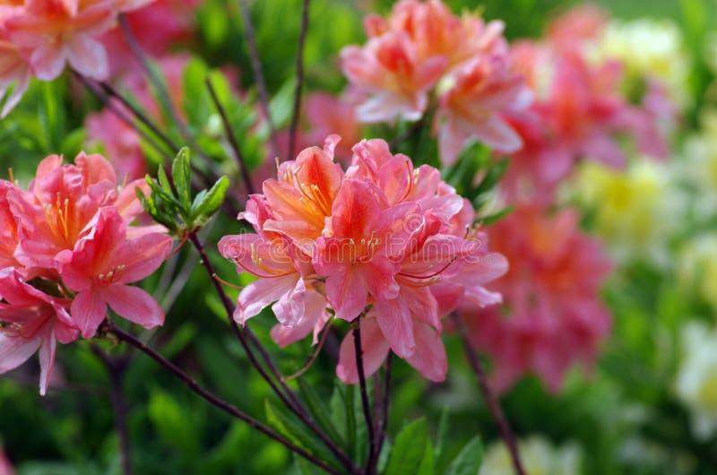 Ρόδινο Rhododendron στοκ εικόνες