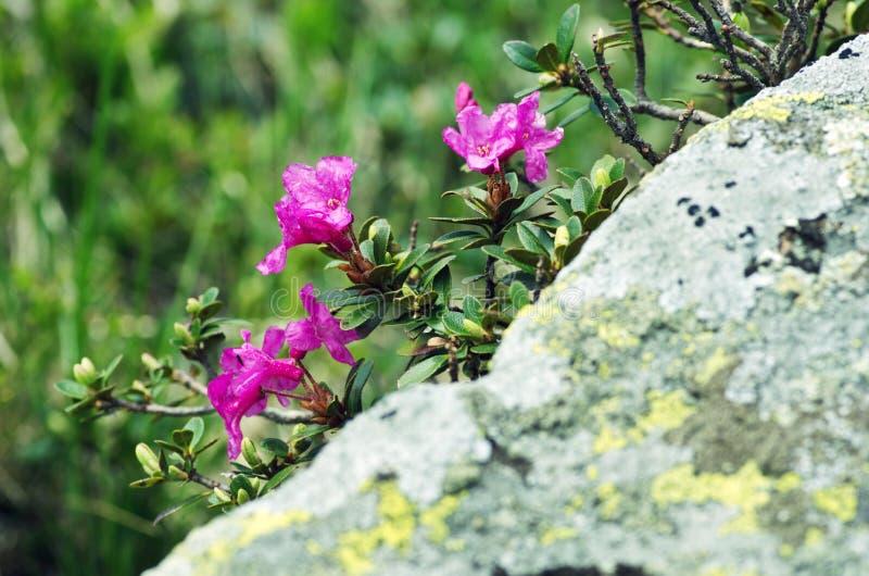 ρόδινο rhododendron στοκ φωτογραφία