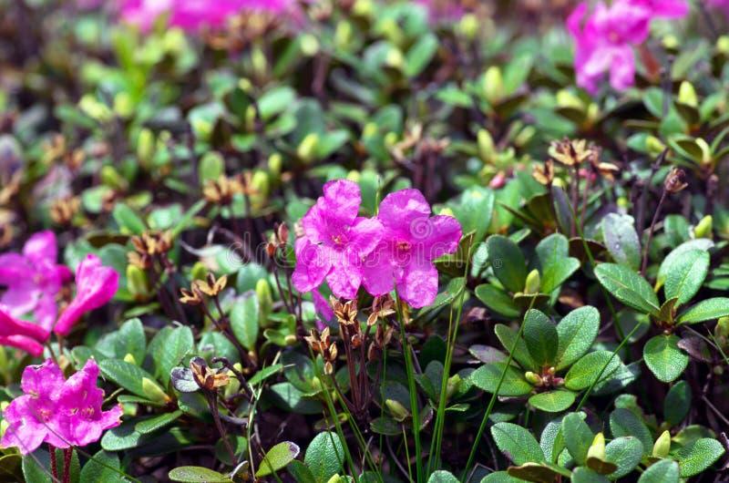 ρόδινο rhododendron στοκ εικόνα