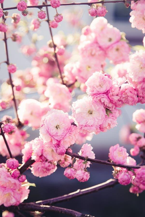 ρόδινο sakura ανθών στοκ εικόνες