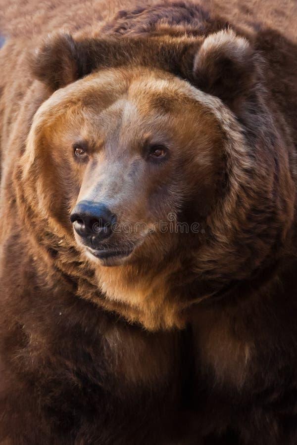 Ρύγχος Ένα πορτρέτο μιας τεράστιας αρκούδας σε ολόκληρο το πλαίσιο, το κτήνος είναι τεράστιο και φωτισμένο από τον ήλιο Τεράστιος στοκ φωτογραφίες