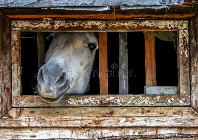 Ρύγχος αλόγων σε ένα μικρό παράθυρο στο σταύλο Τα ζώα αγροκτημάτων κλείνουν επάνω στοκ εικόνες με δικαίωμα ελεύθερης χρήσης