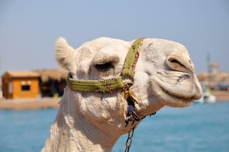 Ρύγχος καμηλών Πορτρέτο άσπρου στενού ενός επάνω καμηλών Αίγυπτος, ηλιόλουστη θερινή ημέρα στοκ φωτογραφία