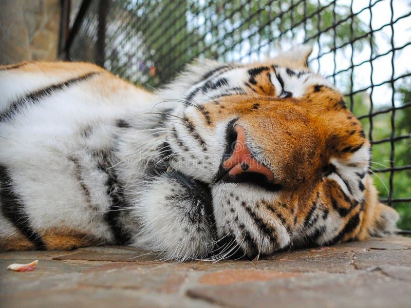 Ρύγχος τιγρών ύπνου στοκ εικόνα με δικαίωμα ελεύθερης χρήσης