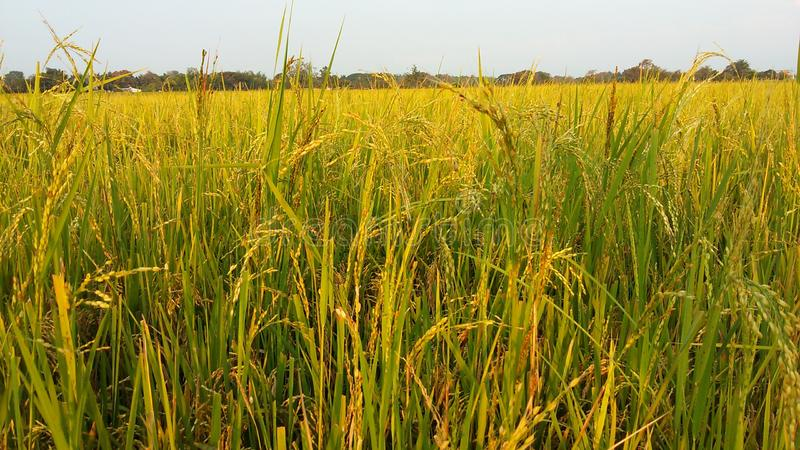 Ρύζι έτοιμο να συγκομίσει στοκ εικόνες