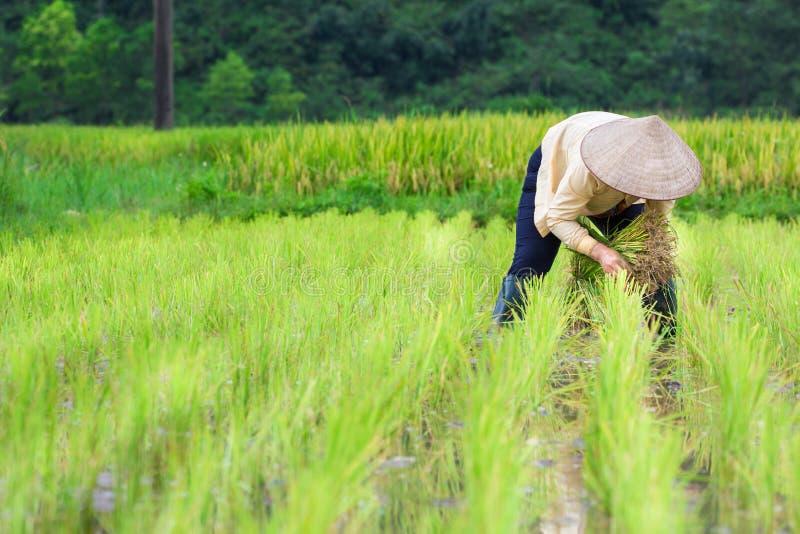 Ρύζι αύξησης του Βιετνάμ Farmer στον τομέα στοκ φωτογραφίες