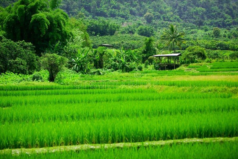 ρύζι ορυζώνων στοκ εικόνα με δικαίωμα ελεύθερης χρήσης