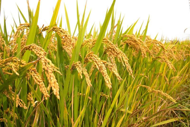 ρύζι πεδίων φθινοπώρου στοκ εικόνες
