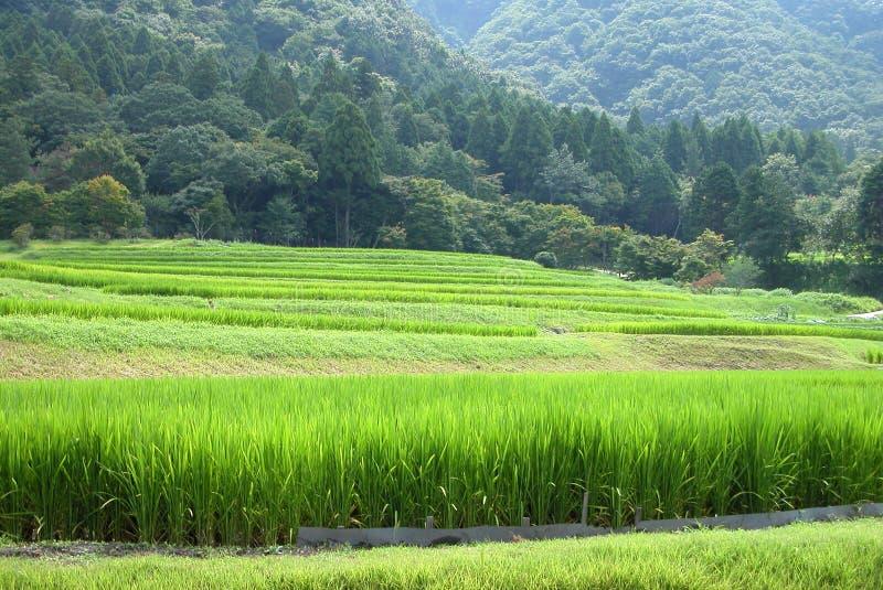 Download ρύζι πεδίων στοκ εικόνες. εικόνα από βοτανικό, φυσικός - 103500