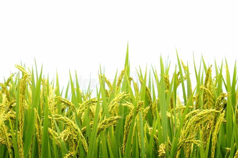 ρύζι πεδίων στοκ φωτογραφία με δικαίωμα ελεύθερης χρήσης