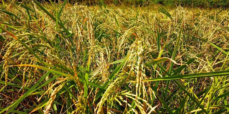 Ρύζι που ανθίζει στοκ φωτογραφία με δικαίωμα ελεύθερης χρήσης