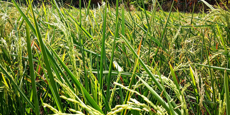 Ρύζι που αρχίζει να ανθίζει στοκ φωτογραφίες