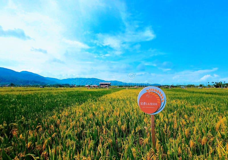 Ρύζι στο πάρκο ρυζιού στοκ εικόνες