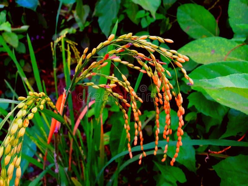 Ρύζι συγκομιδών στοκ φωτογραφία