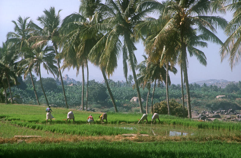 ρύζι της Ινδίας hampi πεδίων στοκ φωτογραφίες