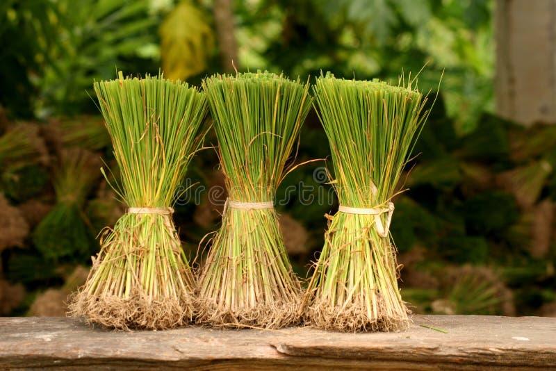 ρύζι φυτών στοκ εικόνες