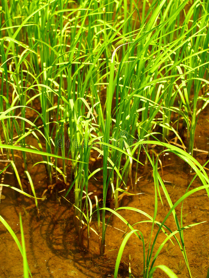 ρύζι 2 στοκ φωτογραφίες