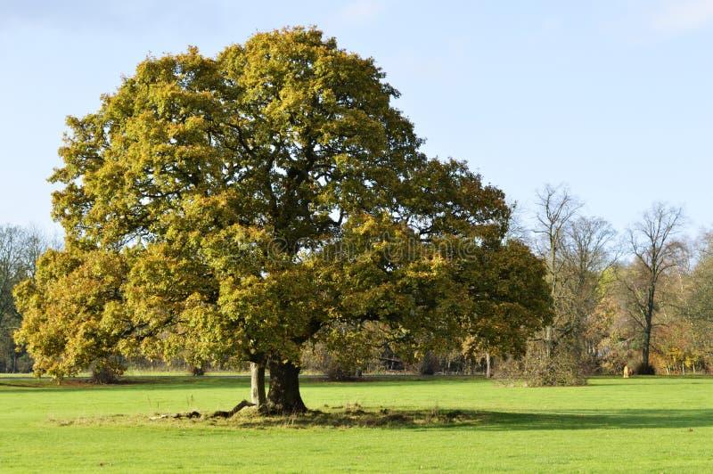 δρύινο δέντρο εικονογράφων μορφής 8 πρόσθετο eps στοκ εικόνες με δικαίωμα ελεύθερης χρήσης