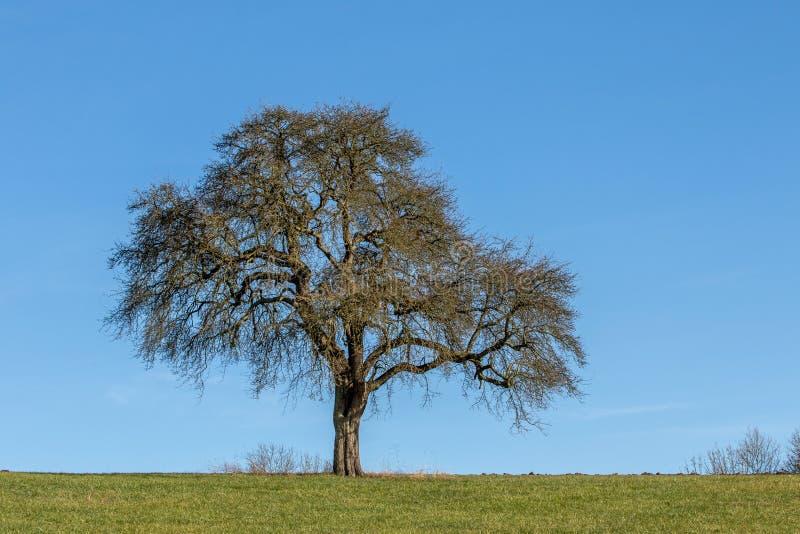 δρύινο δέντρο εικονογράφων μορφής 8 πρόσθετο eps στοκ εικόνες