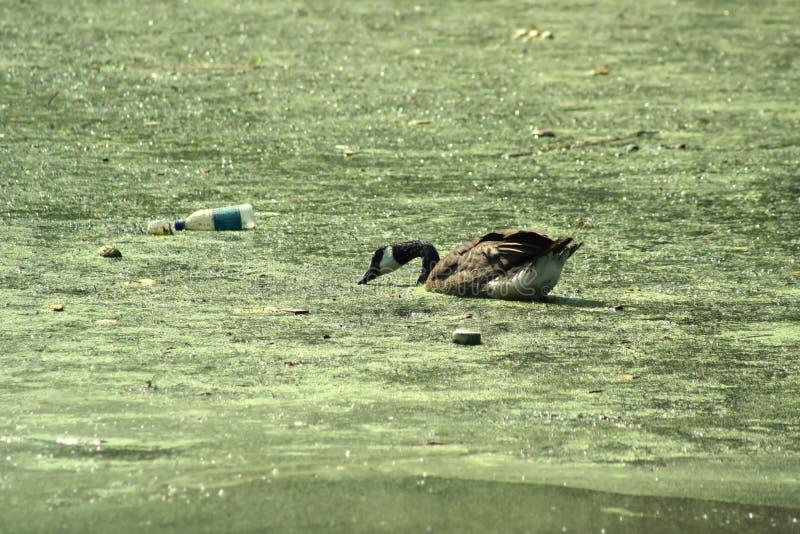 ρύπανση παπιών στοκ εικόνες με δικαίωμα ελεύθερης χρήσης