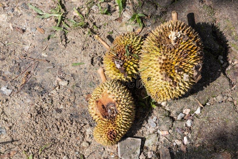 Σάπιος οργανικός durian με την προσβολή παρασίτων στο αγρόκτημα στοκ εικόνες