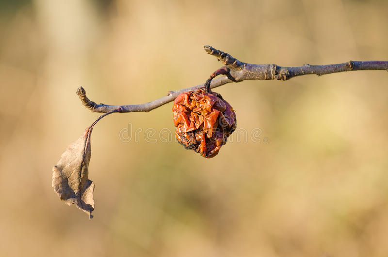 Σάπιο μήλο σε έναν κλάδο κατά τη διάρκεια μιας θερμής ημέρας στοκ εικόνα