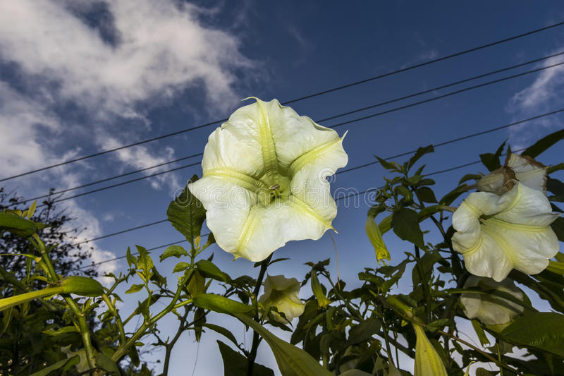 Σάλπιγγες Brugmansia ή αγγέλων ή Datura λουλούδι με τον ουρανό στο backg στοκ εικόνες