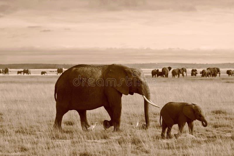 Download σέπια μητέρων της Κένυας ελεφάντων μόσχων Στοκ Εικόνα - εικόνα από παχύδερμο, χαυλιόδοντας: 22793111