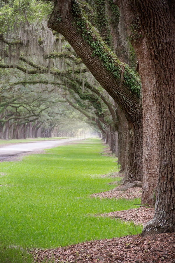 Σήραγγα των ζωντανών δρύινων δέντρων στοκ εικόνα