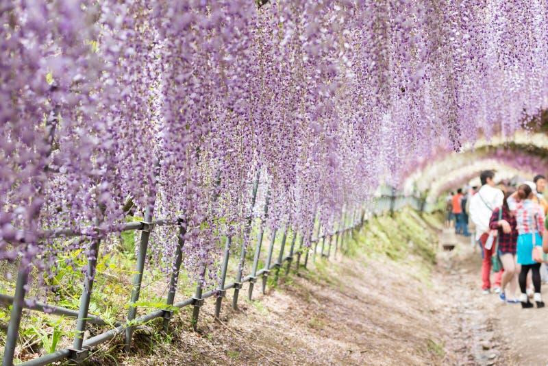 Σήραγγα Wisteria, το φανταστικό παγκόσμιο σύνολο των λουλουδιών Wisteria στοκ φωτογραφία με δικαίωμα ελεύθερης χρήσης