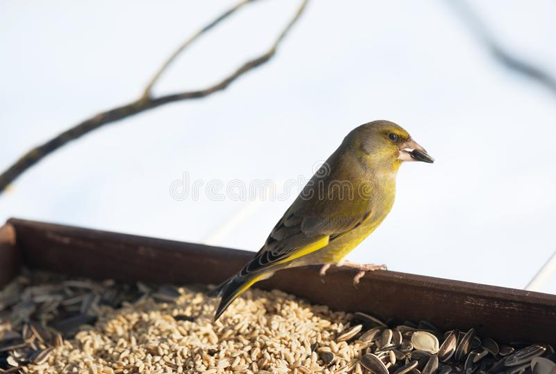 Σίτιση άγριων πτηνών στοκ φωτογραφία με δικαίωμα ελεύθερης χρήσης
