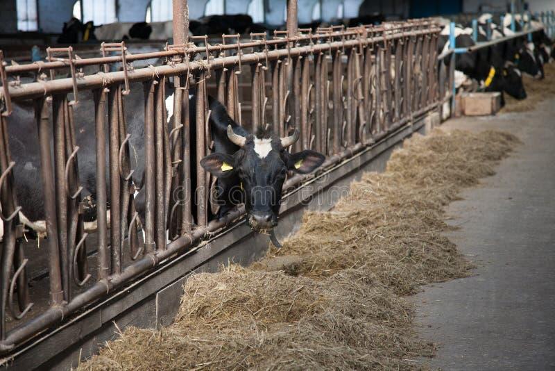 Σίτιση αγελάδων στο μεγάλο σταύλο στοκ φωτογραφίες