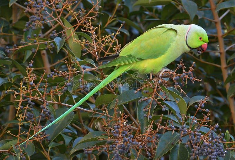 Σίτιση παπαγάλων στο τροπικό δάσος στοκ εικόνα με δικαίωμα ελεύθερης χρήσης