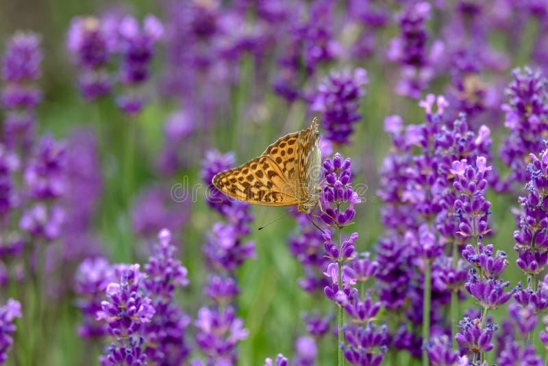 Σίτιση πεταλούδων από πορφυρό lavender στοκ φωτογραφίες