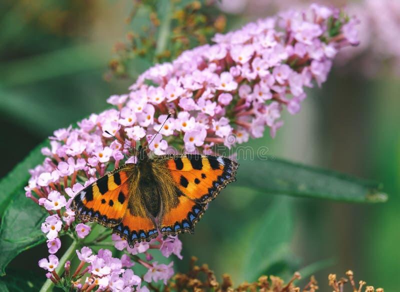 Σίτιση πεταλούδων από τα πορφυρά λουλούδια στοκ εικόνα
