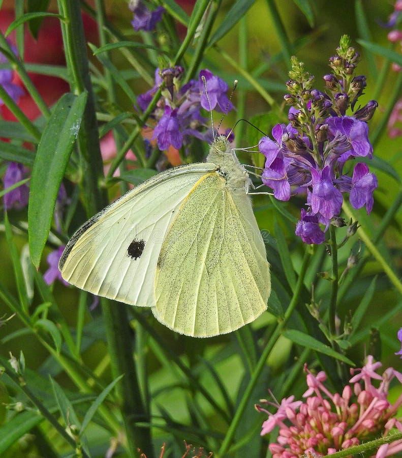Σίτιση πεταλούδων λευκού λάχανων στα λουλούδια κήπων εξοχικών σπιτιών χωρών στοκ εικόνες με δικαίωμα ελεύθερης χρήσης
