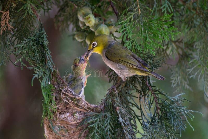 Σίτιση πουλιών άσπρος-ματιών στοκ φωτογραφία με δικαίωμα ελεύθερης χρήσης