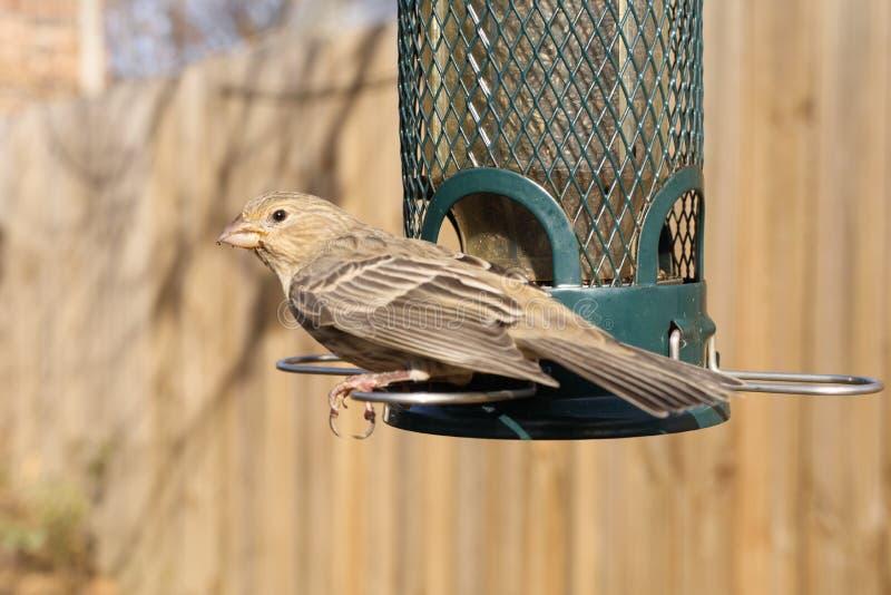 Σίτιση πουλιών στον τροφοδότη κατωφλιών στοκ εικόνα