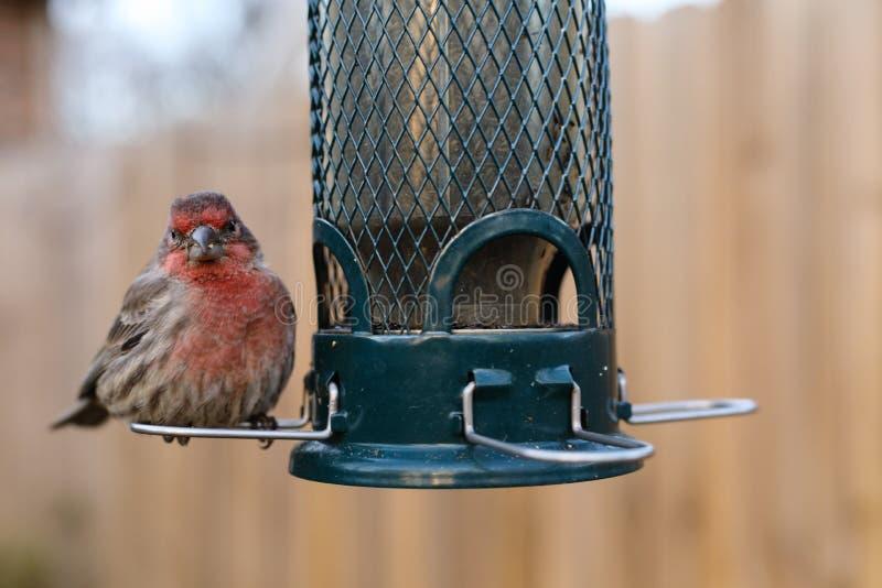 Σίτιση πουλιών στον τροφοδότη κατωφλιών στοκ εικόνα με δικαίωμα ελεύθερης χρήσης