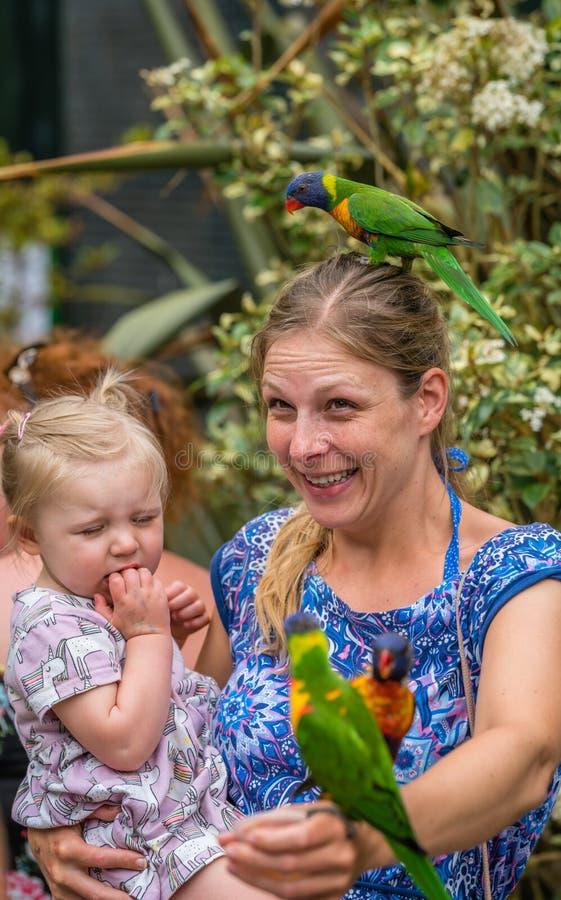 Σίτιση του ζωηρόχρωμου ουράνιου τόξου Lorikeets παπαγάλων στοκ φωτογραφία
