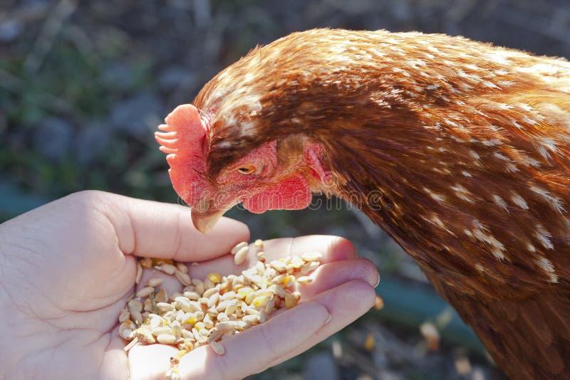 Σίτιση του κοτόπουλου στοκ εικόνες με δικαίωμα ελεύθερης χρήσης