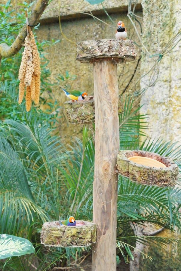 Σίτιση των ζωηρόχρωμων τροπικών πουλιών Amadina Qulda και ζέβους finch στοκ φωτογραφία με δικαίωμα ελεύθερης χρήσης
