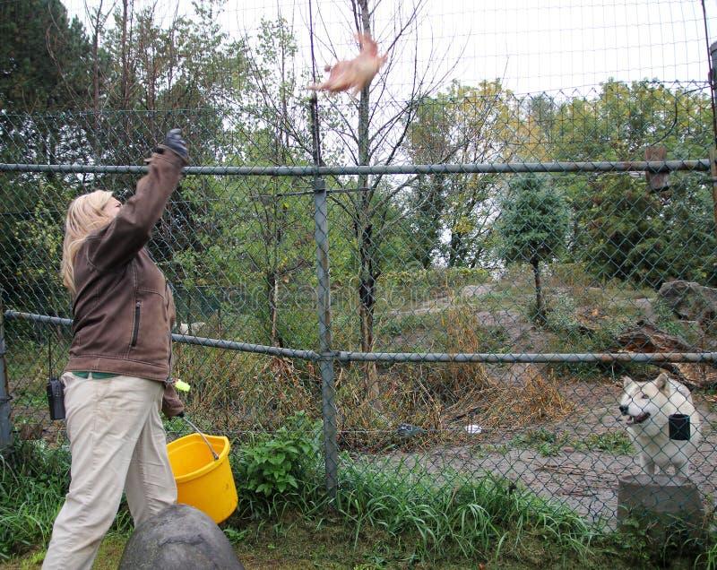 Σίτιση λύκων στοκ φωτογραφία με δικαίωμα ελεύθερης χρήσης