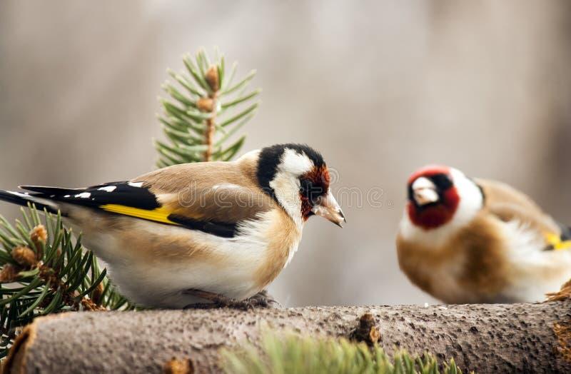 σίτιση goldfinchs στοκ εικόνες με δικαίωμα ελεύθερης χρήσης