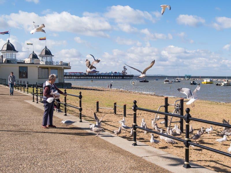 Σίτιση seagull στον κόλπο του Χέρνη, Κεντ, UK στοκ εικόνες