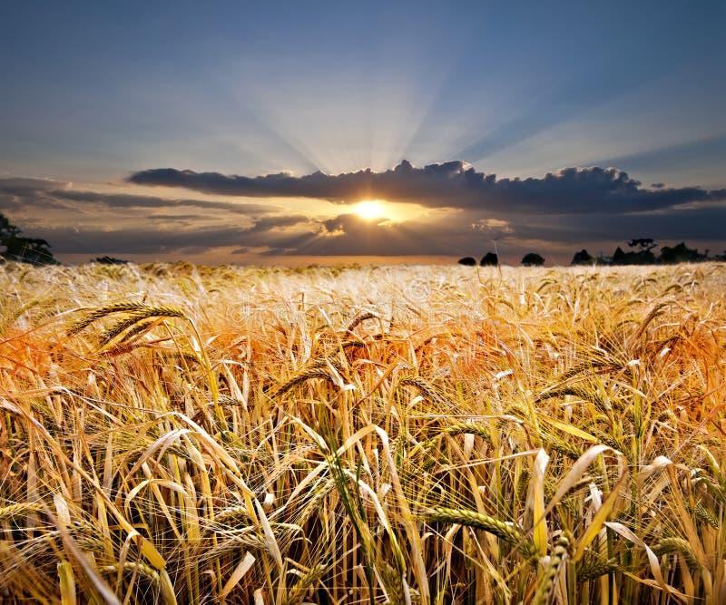 σίτος ηλιοβασιλέματος στοκ εικόνα