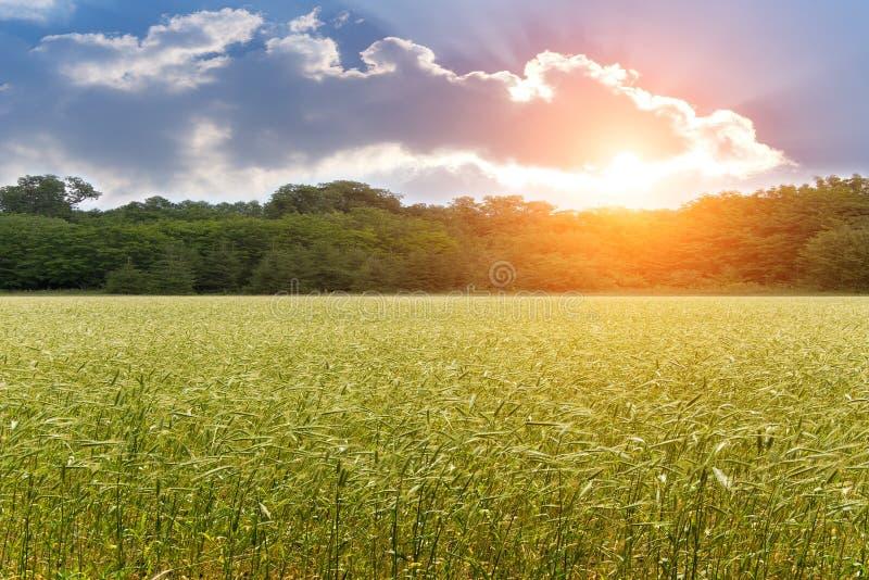 σίτος ηλιοβασιλέματος &p στοκ εικόνες με δικαίωμα ελεύθερης χρήσης
