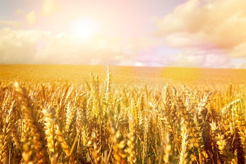 Σίτος στον ήλιο ξημερωμάτων στοκ εικόνα με δικαίωμα ελεύθερης χρήσης