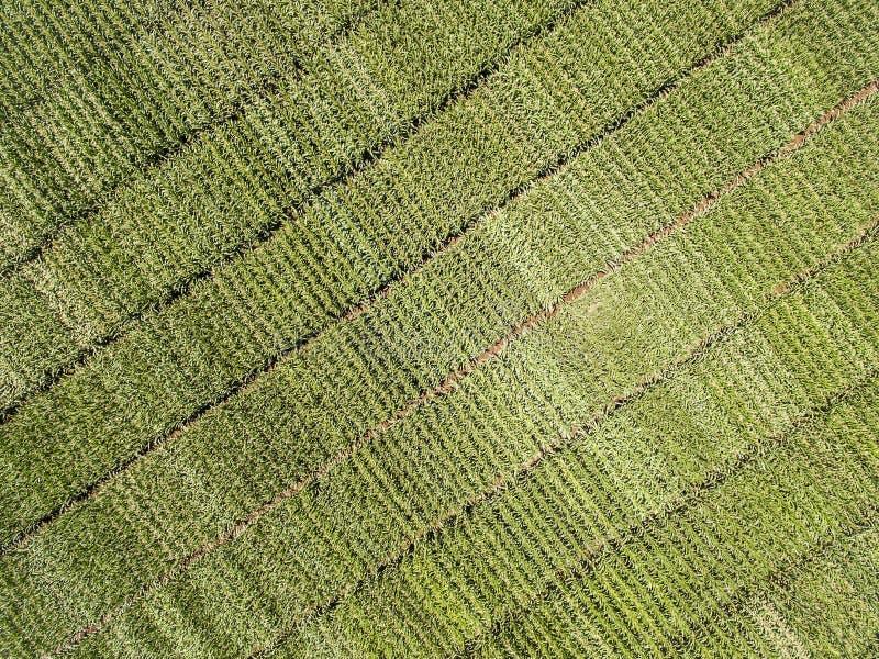 Σίτος τομέων καλαμποκιού που γίνεται πράσινος στοκ φωτογραφία με δικαίωμα ελεύθερης χρήσης